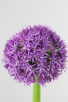 Picture of Allium Gladiator