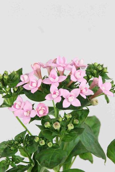 Picture of Bouvardia Diamond Pink Star