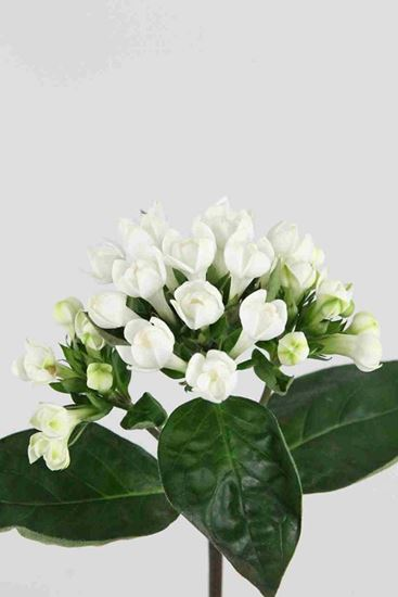 Picture of Bouvardia Diamond White