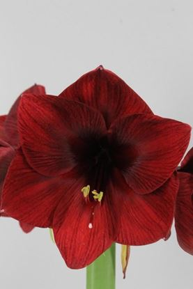 Picture of Amaryllis Royal Velvet