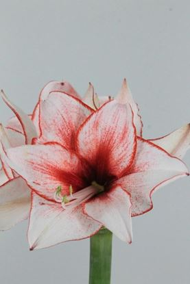 Picture of Amaryllis Showmaster