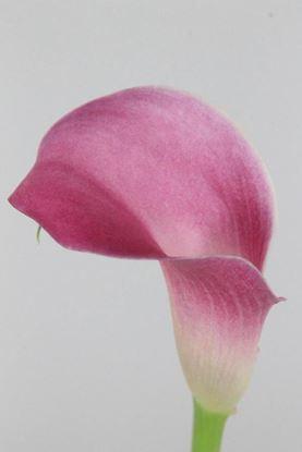 Picture of Calla Garnet Glow