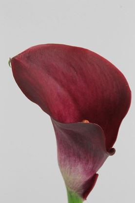 Picture of Calla Majestic Red