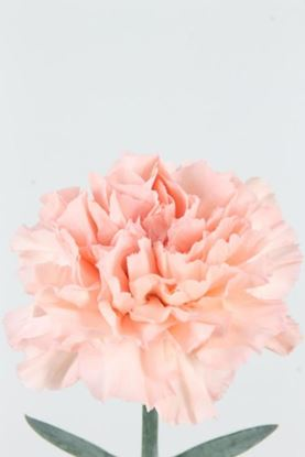 Picture of Carnation Light Pink Candy