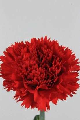 Picture of Carnation Red