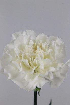 Picture of Carnation White