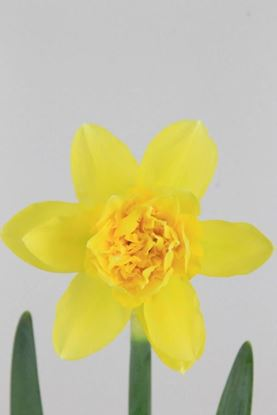 Picture of Daffodil Dick Walden