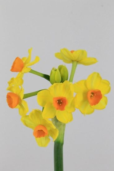 Picture of Daffodil Soleil d 'Or