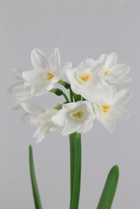 Picture of Daffodil Ziva Paper White