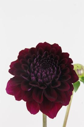 Picture of Dahlia Ball Duke Duwen