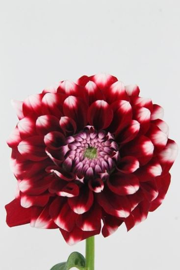 Picture of Dahlia Checkers