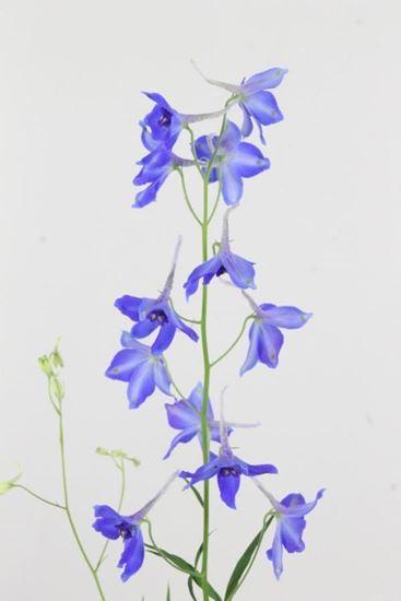Picture of Delphinium Belladonna