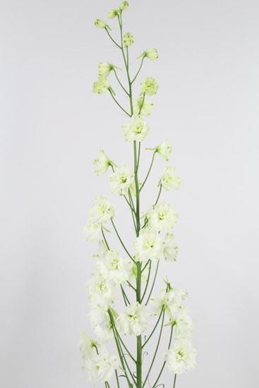 Picture of Delphinium Elatum Centurion White