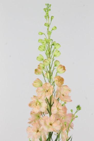 Picture of Delphinium Elatum Princess Caroline