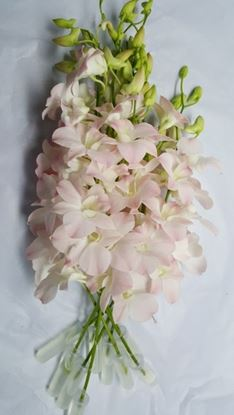 Picture of Dendrobium Peach