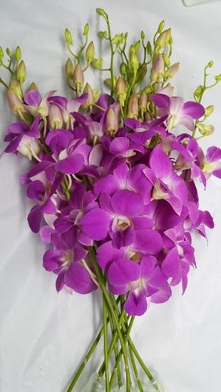 Picture of Dendrobium Queen Pink