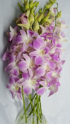 Picture of Dendrobium Smoothy