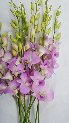 Picture of Dendrobium Sweet Pink