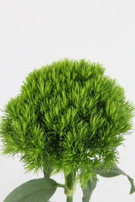 Picture of Dianthus Green Trick