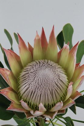 Picture of Protea King