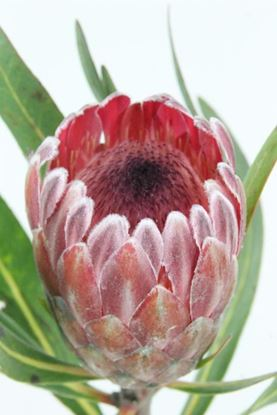 Picture of Protea Pink Ice