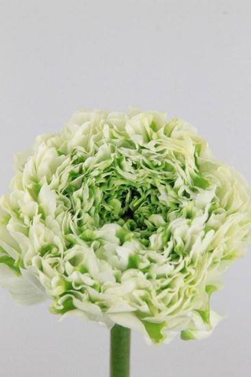 Picture of Ranunculus Ponpon White