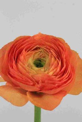 Picture of Ranunculus Orange