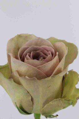 Picture of Rose EC Amnesia