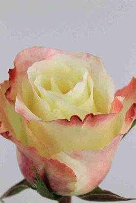Picture of Rose EC Aubode