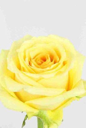 Picture of Rose EC Butterscotch