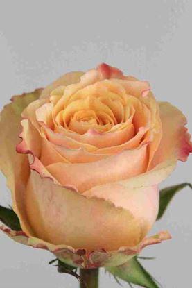 Picture of Rose EC Carpe Diem