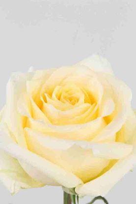 Picture of Rose EC Crème de la Crème