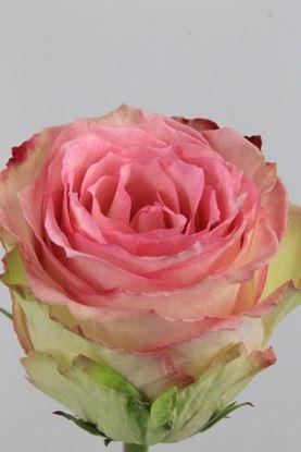 Picture of Rose EC Esperance