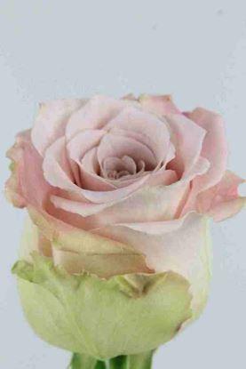 Picture of Rose EC Faith