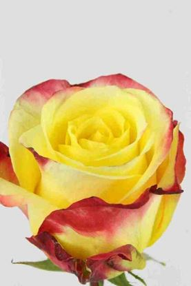 Picture of Rose EC Hot Merengue
