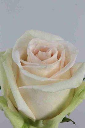 Picture of Rose EC La Perla