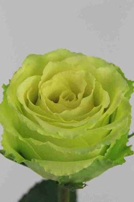 Picture of Rose EC Limbo