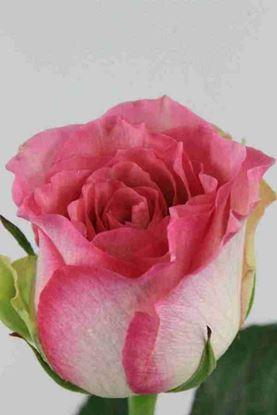 Picture of Rose EC Malibu