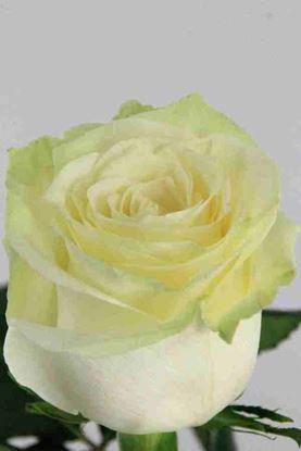 Picture of Rose EC Mondial
