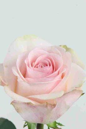 Picture of Rose EC Novia