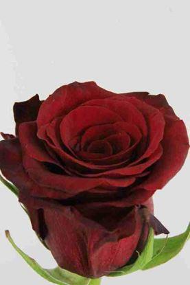 Picture of Rose EC Red Paris
