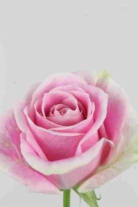 Picture of Rose EC Rosita Vendela