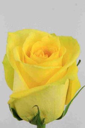 Picture of Rose EC Tara
