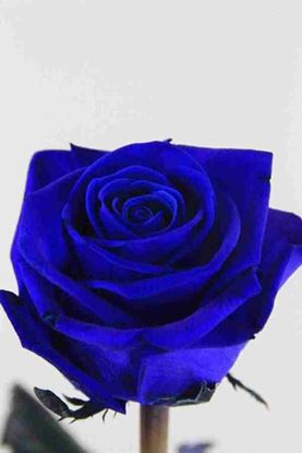 Picture of Rose Dyed Blue