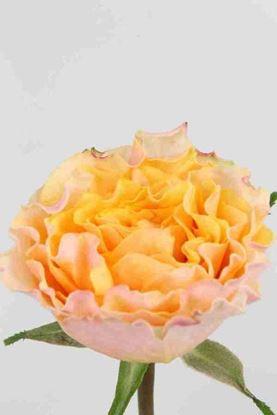 Picture of Rose UK Campanella Peach