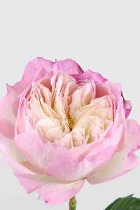 Picture of Rose UK Constance