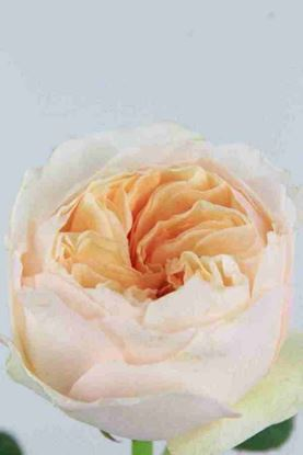 Picture of Rose UK Juliet