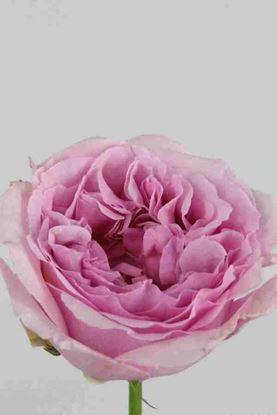 Picture of Rose UK Miranda