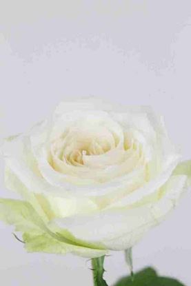 Picture of Rose UK White Ohara