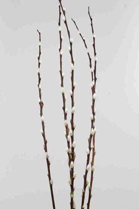 Picture of Salix Pussy Willow